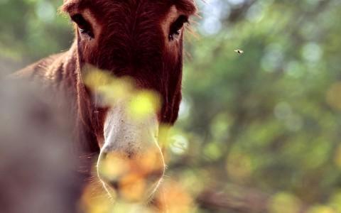 L'âne et la mouche, Haute-Loire