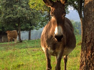 L'âne et la vache, une fable Périgourdine…