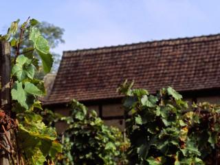 Vignes à l'Ecomusée, Alsace