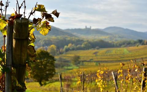 Château d'Andlau, Bas-Rhin, Alsace  –  Les deux tours depuis le vignoble