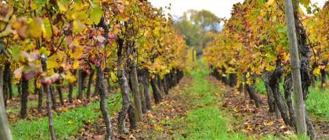 Pieds de vigne, Alsace