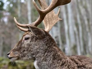 Majesté en forêt, Allemagne