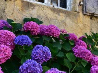 Bouquet d'hortensias, Saint-Genies, Dordogne