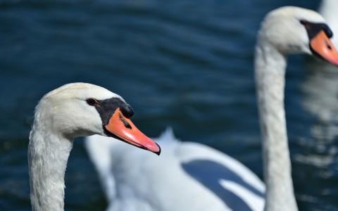 Becs luisants sur la Saône…