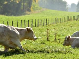 Génuflexion bovine