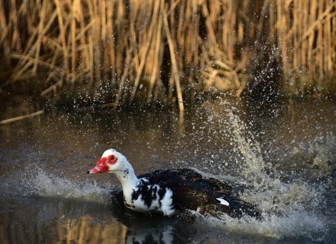 Canard de Barbarie, baignade