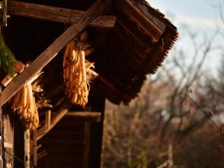 Maïs dorés, Ecomusée