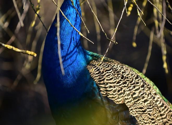 Paon couleur lapis-lazuli