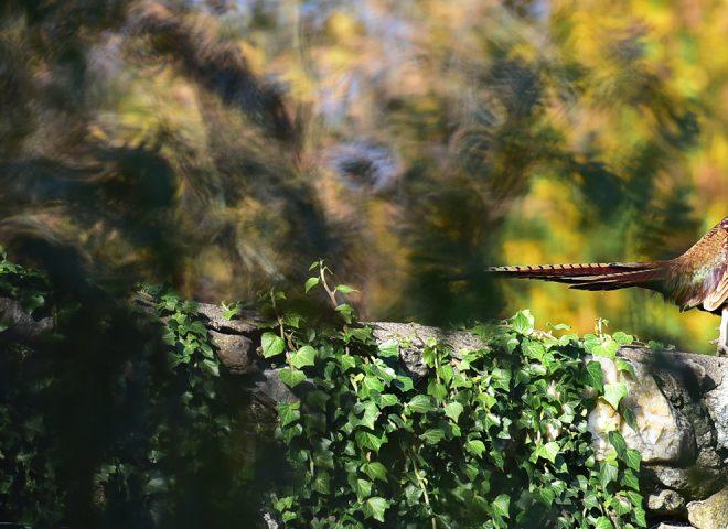 Faisan en automne