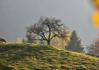 Moutons en pâtures, Gruyères, Suisse
